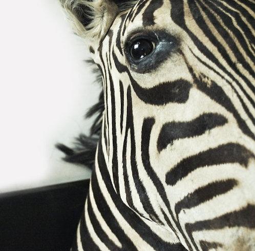 Huge Taxidermy Zebras Head
