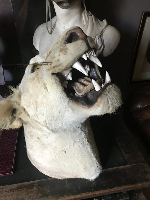 Antique Taxidermy Lioness Head by Rowland Ward