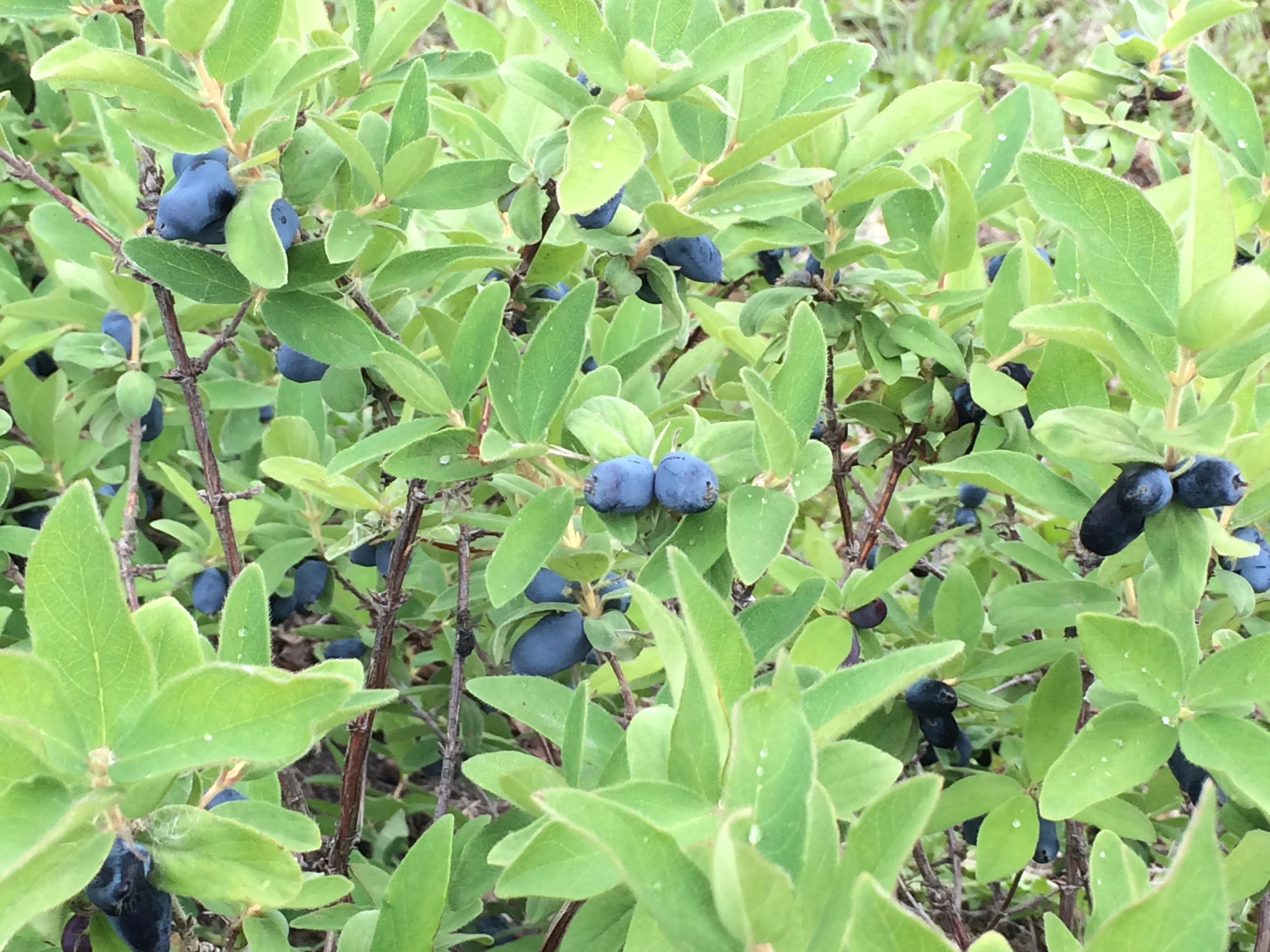 Haskap bush full of berries