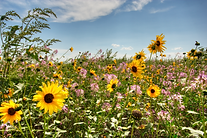 70Ranch_Sunflowers.png