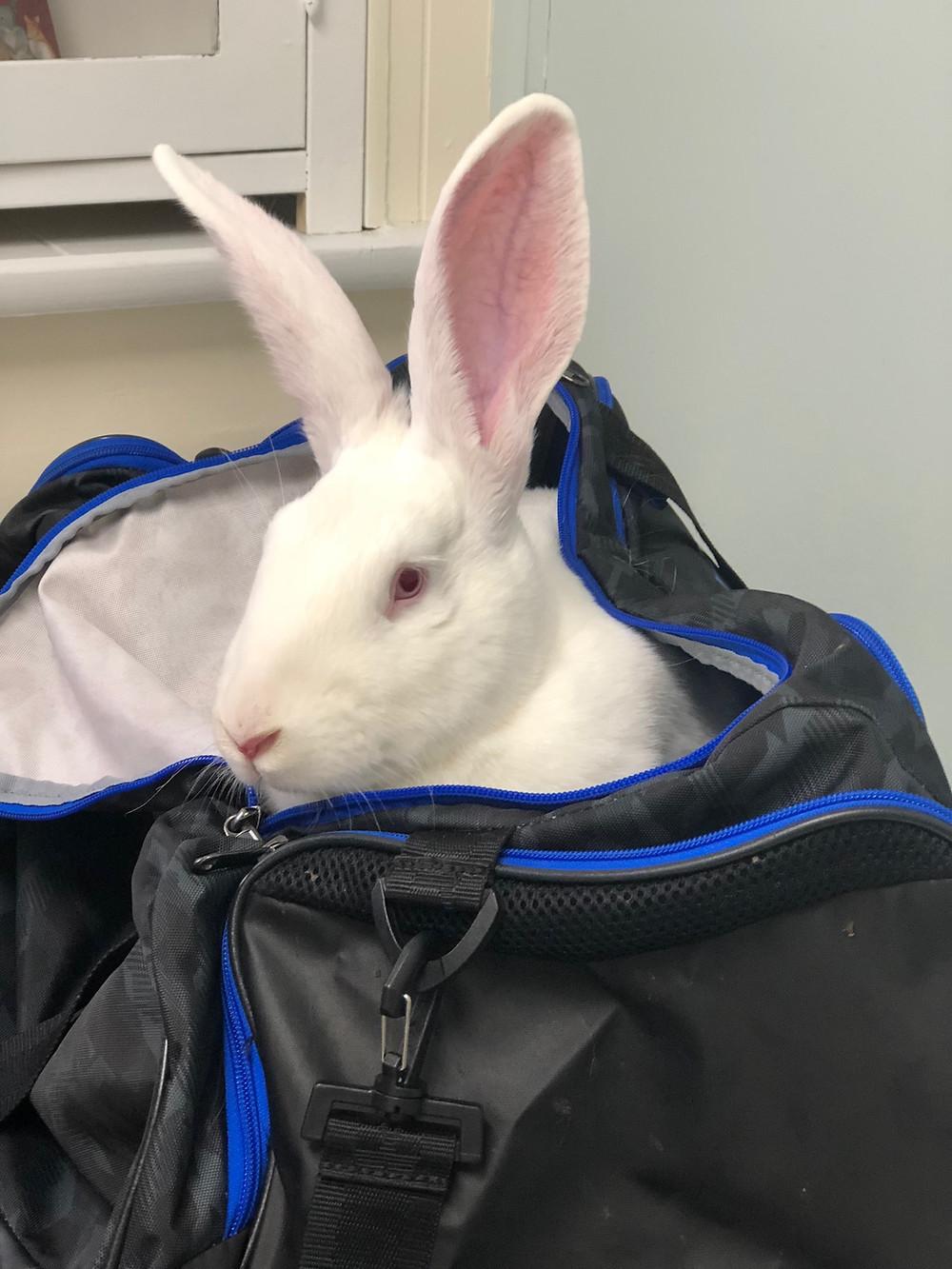 pet rabbit in a bag at exotic vet, long island NY