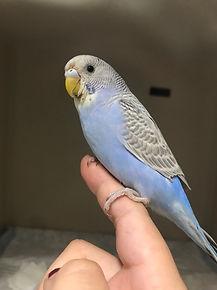 parakeet from Brooklyn at NY vet
