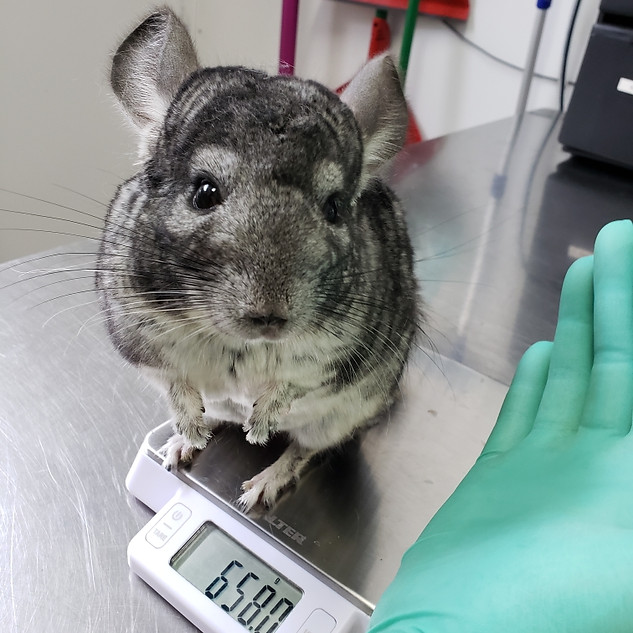 chinchilla being weighed at exotic vet, NY