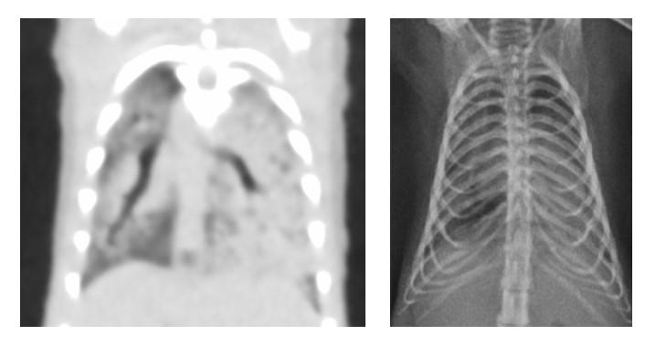 Sugar glider: severe pneumonia, cannot be appreciated on X-rays
