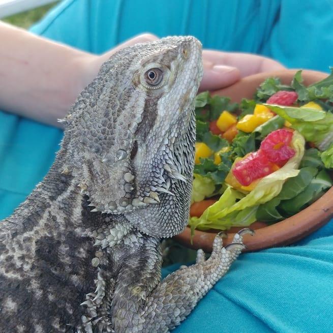 pet bearded dragon | reptile vet long island | LIBEVC