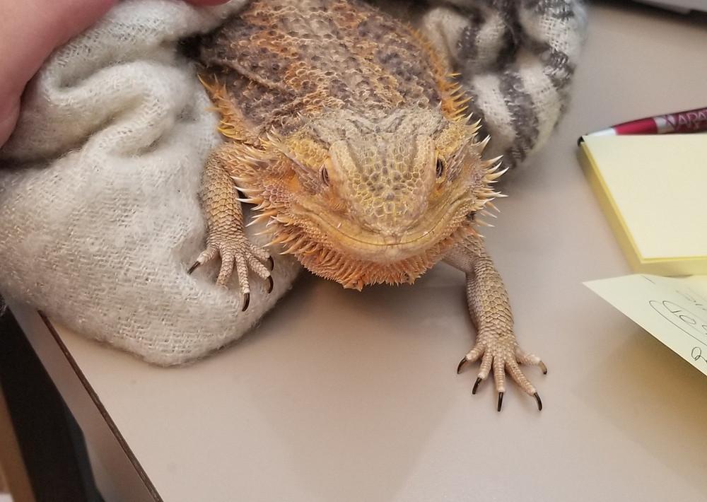 bearded dragon care | reptile vet | New York