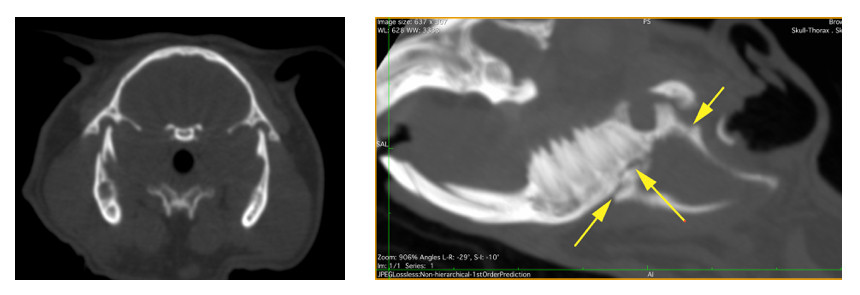 CT Scan Guinea pig with skull fractures