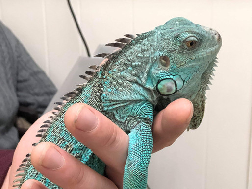 There's a Lid for Every Pot, But Not So for Iguanas (Why Iguanas Make Great Pets… For the Right
