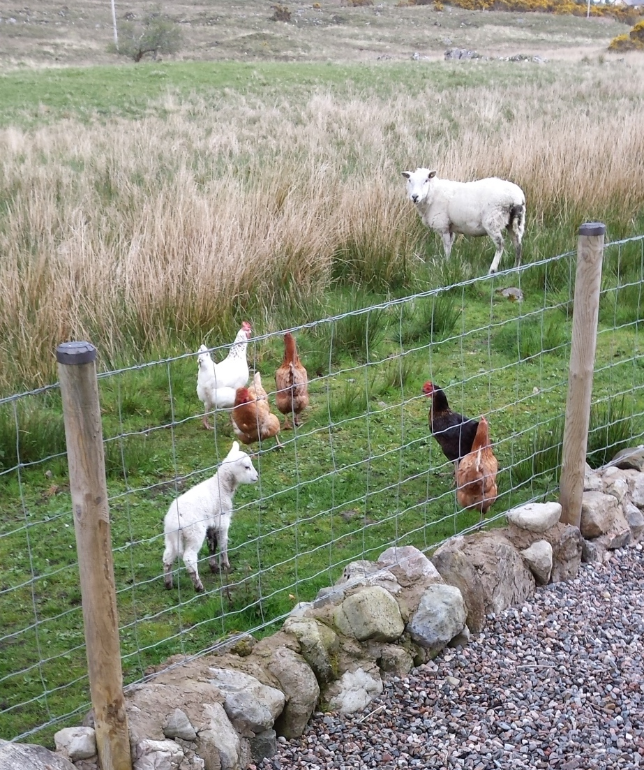 Chickens meet the new lambs