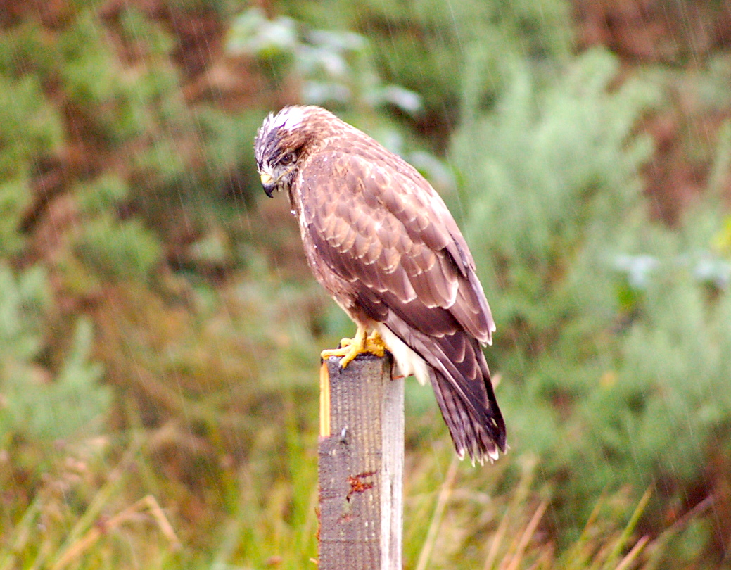 One of our friendly Buzzards