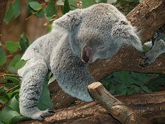 koala_bear_australia_teddy.jpg