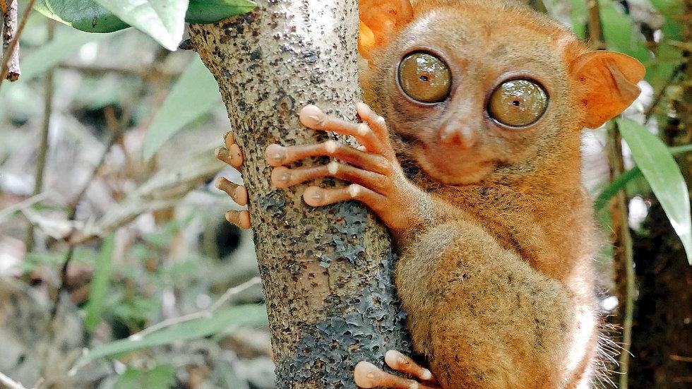 Corella  – Observer les singes tarsiers de Bohol aux Philippines