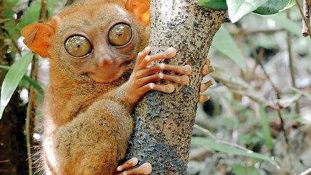 Rencontrez les étonnants tarsiers de Bohol à Corella