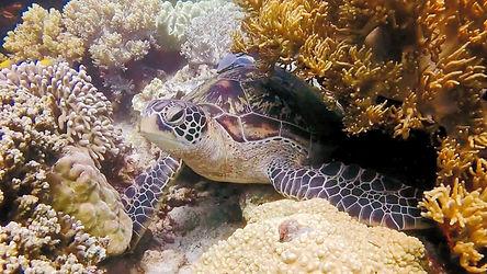 Lusong coral garden: Des tortues géantes, des coraux verts, bleus, violets, jaunes, des centaines de poissons