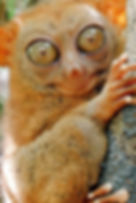 Mon voyage aux philippines, le tarsier à Corella municipalité de Bohol