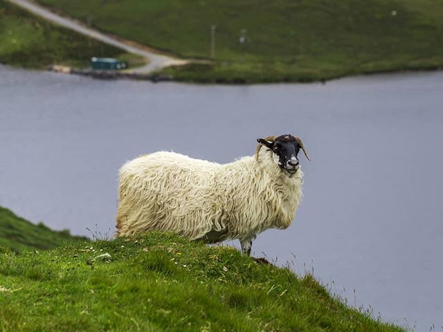 Tipica pecora Irlandese