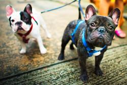 french-bulldog-take-a-walk-lovely-pet-an