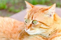 ginger-cat-PS864D3-web
