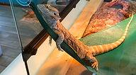 RRAC-Lizard-web.jpg