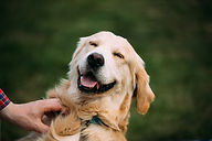 close-view-of-funny-young-happy-labrador