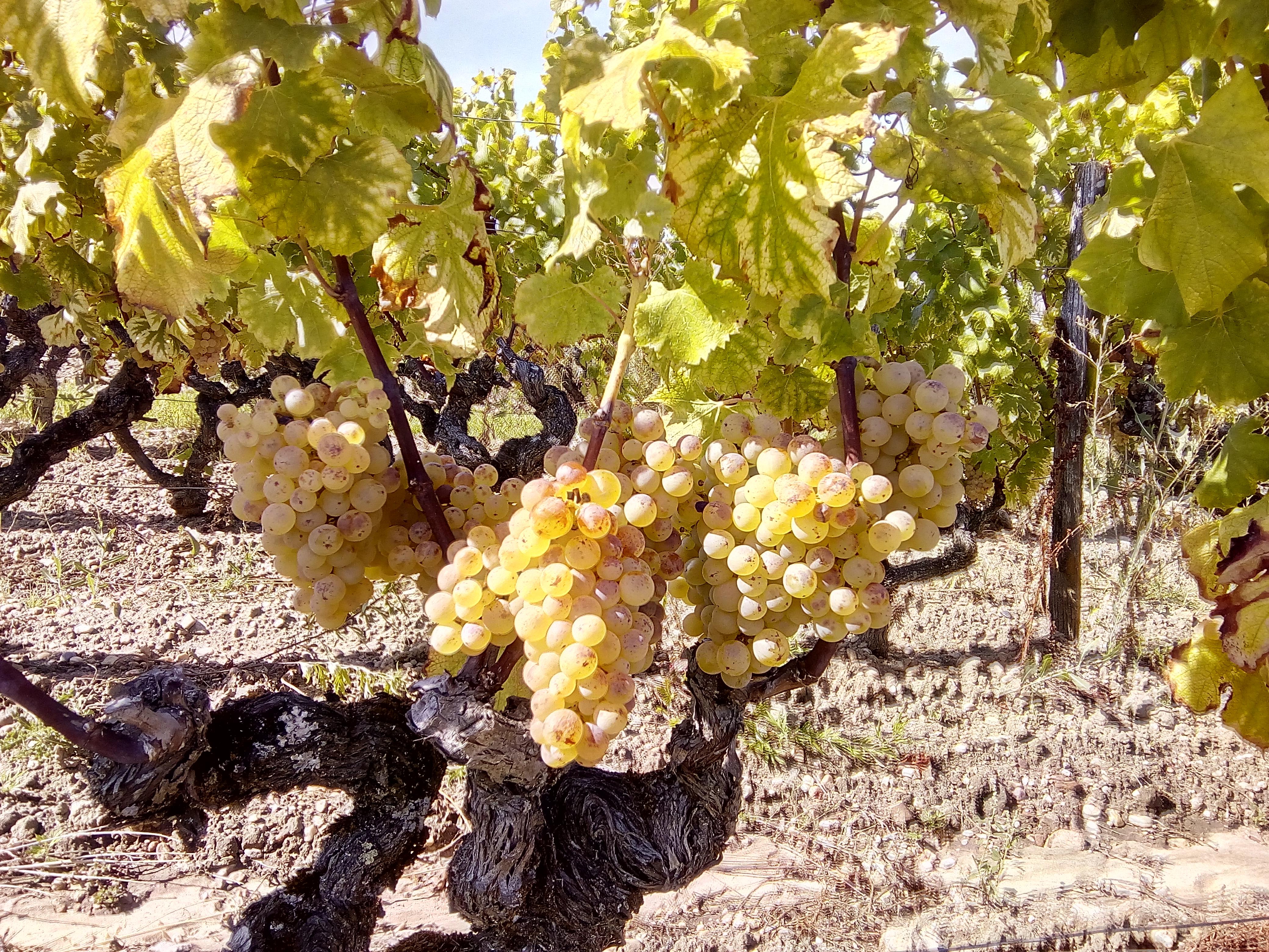 Sauternes grapes