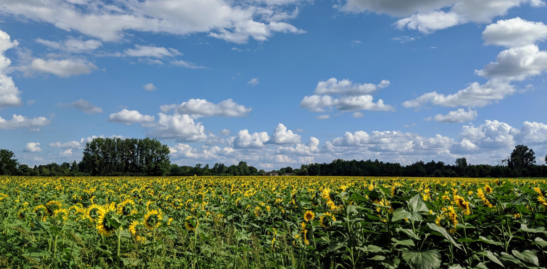 Sunflowers bordeaux france
