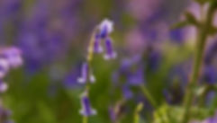 Bluebells in Reigate, Surrey