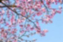 Surrey blossom flowers