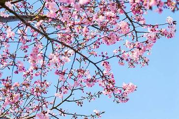 Joy with Surrey blossom