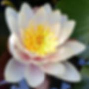 Lily, mindfulness image