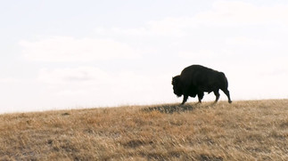 Bison Reintroduction at Wanuskewin