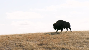 Bison Reintroduction at Wanuskewin