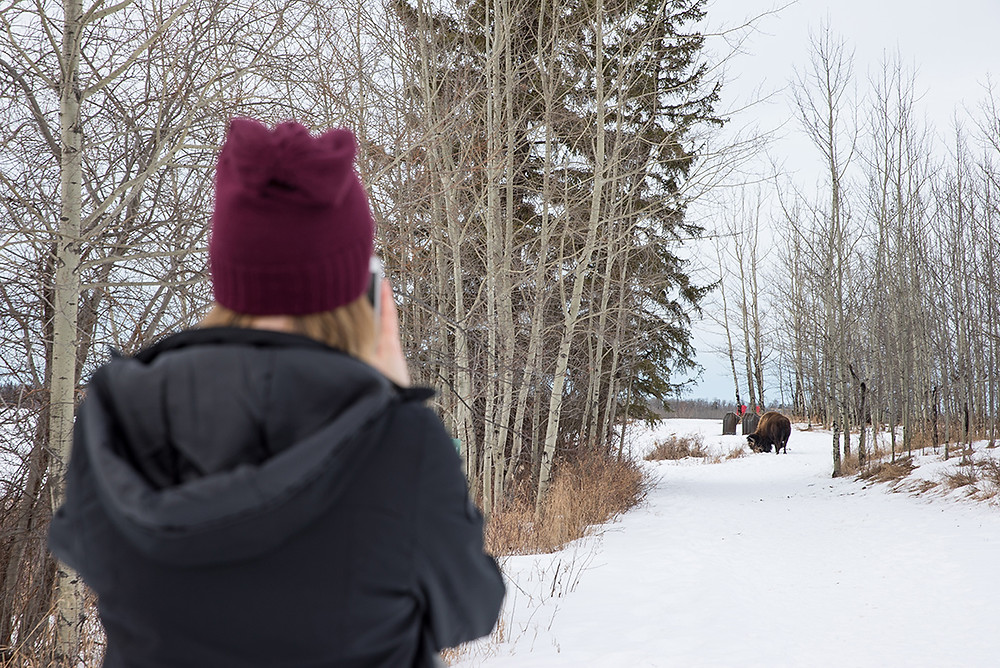 Bisons im Elk Island National Park © Travel Alberta