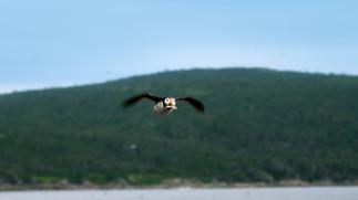 Papageientaucher in Neufundland und Labrador