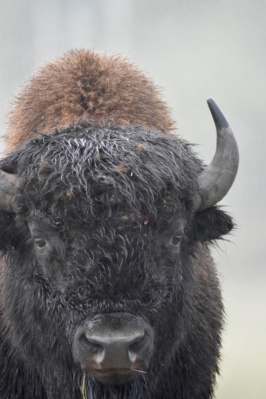 Bison Manitoba