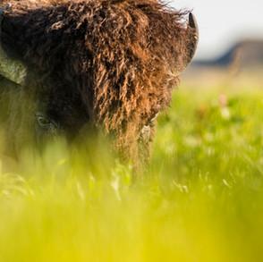 Rückkehr der Bisons nach Wanuskewin, Saskatchewan