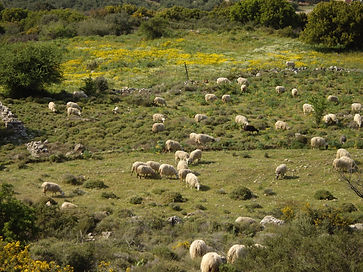 Sheep(smaro)1.jpg
