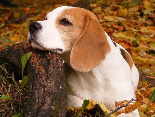 Perros beagle olfatean el cáncer con un 97% de precisión.