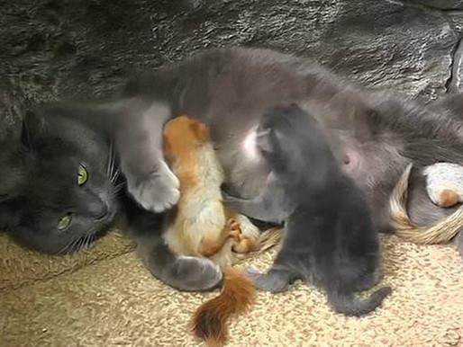 'Pusha', la gata madre de cuatro ardillas