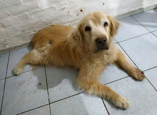 Recaudan fondos para operar a perra guía 'jubilada' tras años de ayudar a invidente.