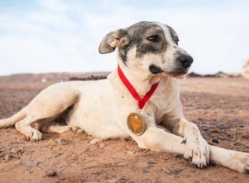 Cactus, el primer perro que ha completado en seis días uno de los maratones más duros del mundo.
