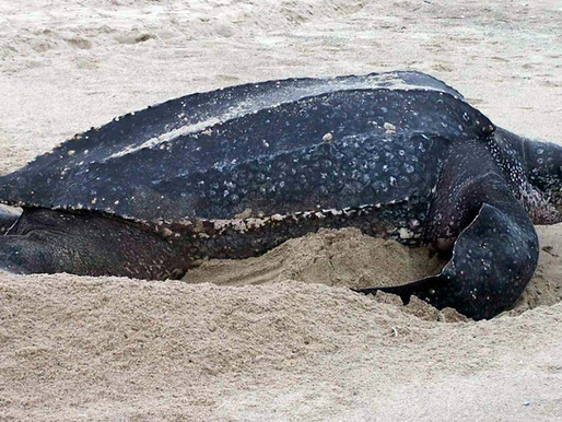 En los últimos 20 días aparecieron 10 tortugas laúd en las costas uruguayas.