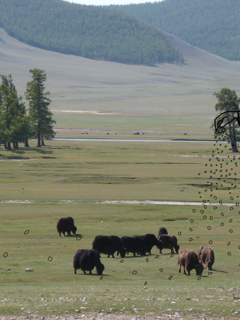 Feeding Yacks Kirguistan