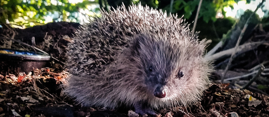 Hedgehogs in Tinker's Bubble Woodland Here at Pentref!