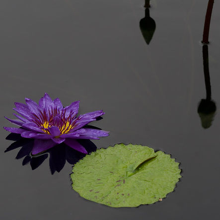 1-Water lilly bloom and pad.jpeg