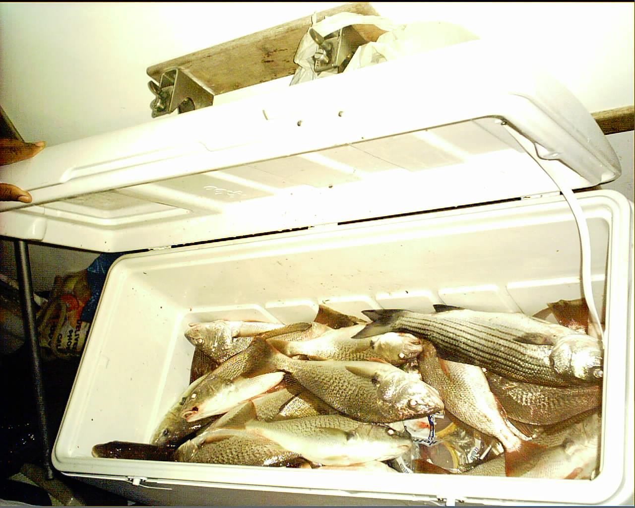 Croakers and Rockfish