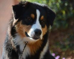 pastor australilano cachorro jasmine
