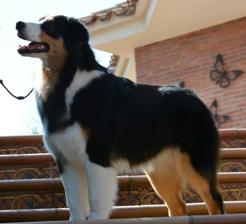 cachorro pastor australiano jasmine