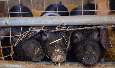 Large Black Hogs Pork