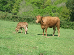 South Devon cow and calf